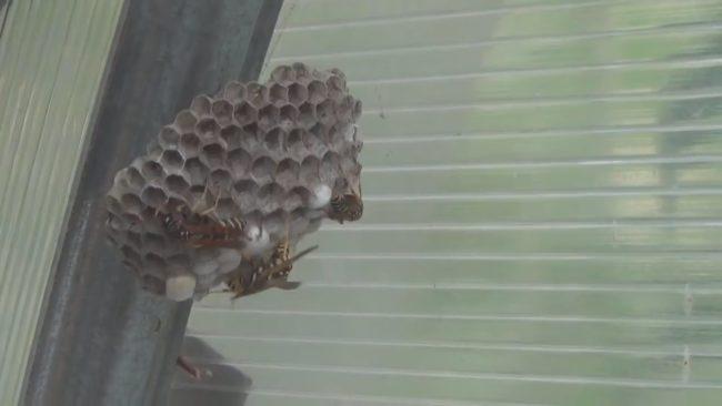 шершни и осы
