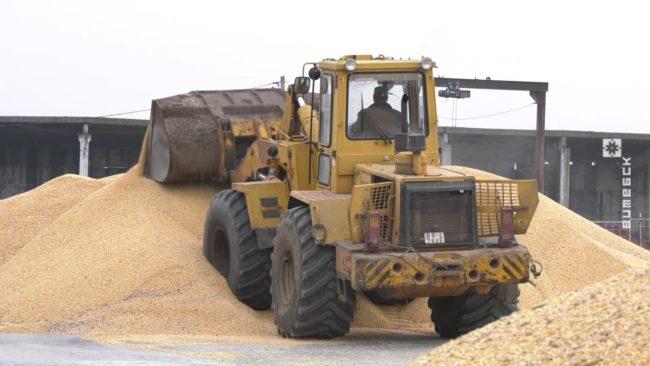 sbor kukuruzy 650x366 - Витебская область собрала более 1 млн. тонн зерна с учётом кукурузы (видео)
