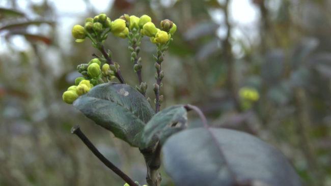 cvetut cvety 650x366 - В Витебской области под Новый год расцвел подснежник (видео)