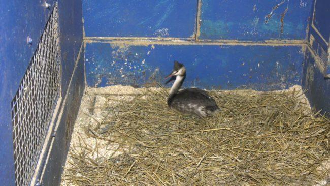 ptica poganka 650x366 - Большая поганка поселилась в Витебском зоопарке (видео)
