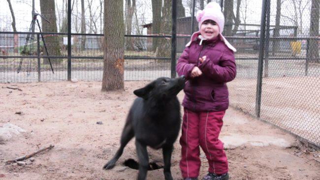 volk v zooparke 650x366 - В Витебске девочка подружилась с волчонком (видео)
