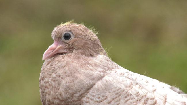 golubi 650x366 - Дмитрий Морозов из Витебска разводит породистых голубей (видео)