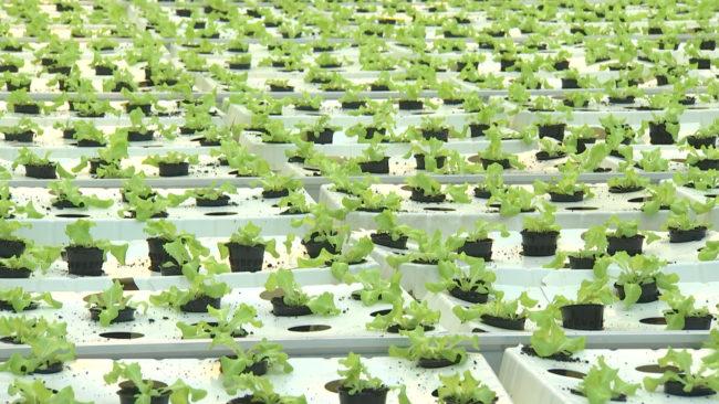 salat 650x366 - Небывалый урожай собирают в теплицах под Оршей (видео)