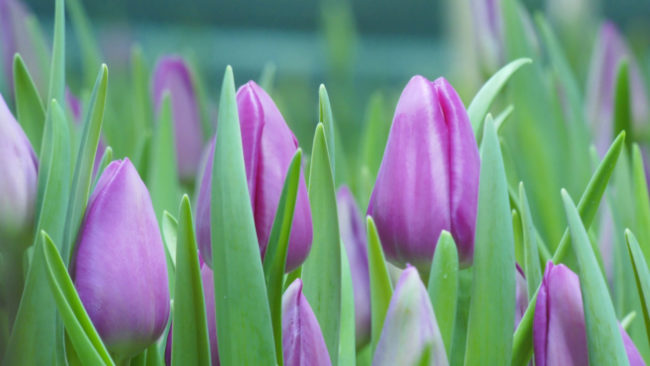 tjulpany 650x366 - Целая плантация тюльпанов расцвела в Витебской области (видео)