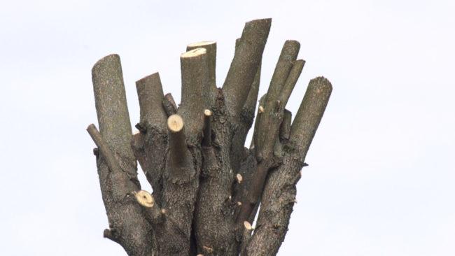 obrezka derevev 650x366 - Весенняя обрезка деревьев вызвала недовольство жителей Витебска (видео)