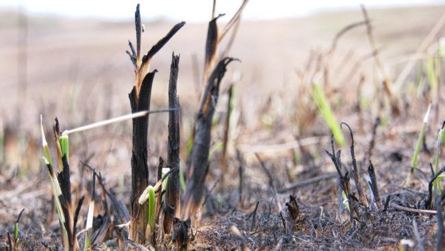 pal travy 650x366 - Обугленная земля. Хроника пожаров в экосистемах Витебской области (видео)