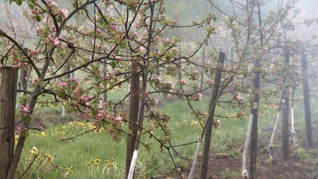 sady 650x366 - Витебские садоводы спасают цветущие деревья от заморозков (видео)