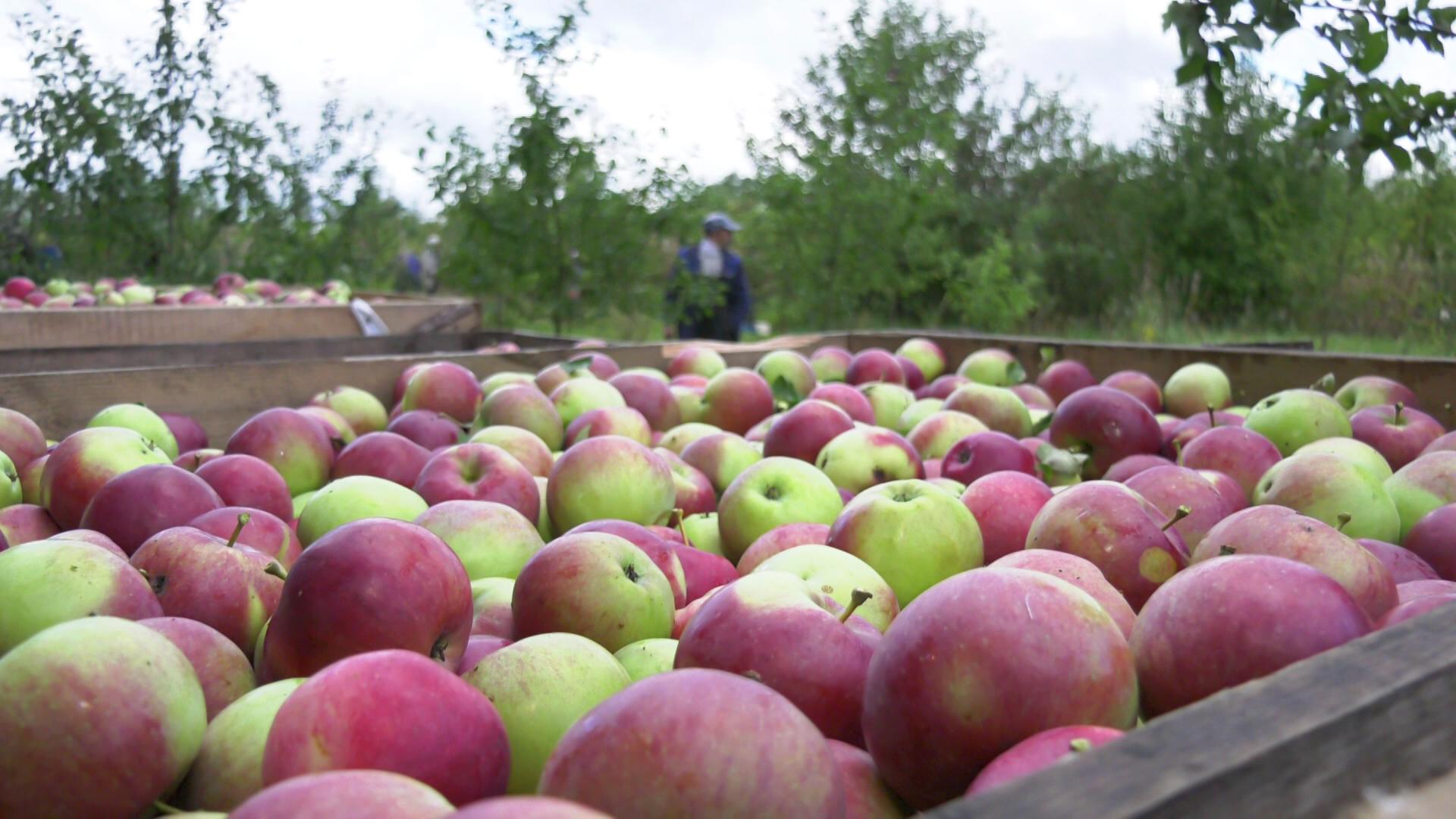 jabloki - Богатый урожай яблок созрел в садах под Витебском (видео)