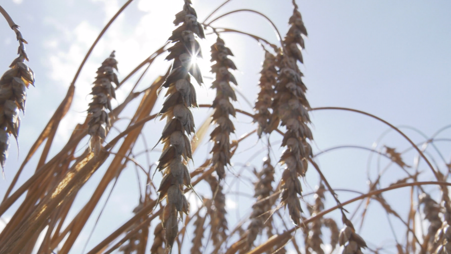 zerno - Аграрии Витебской области намолотили миллион тонн зерна (видео)