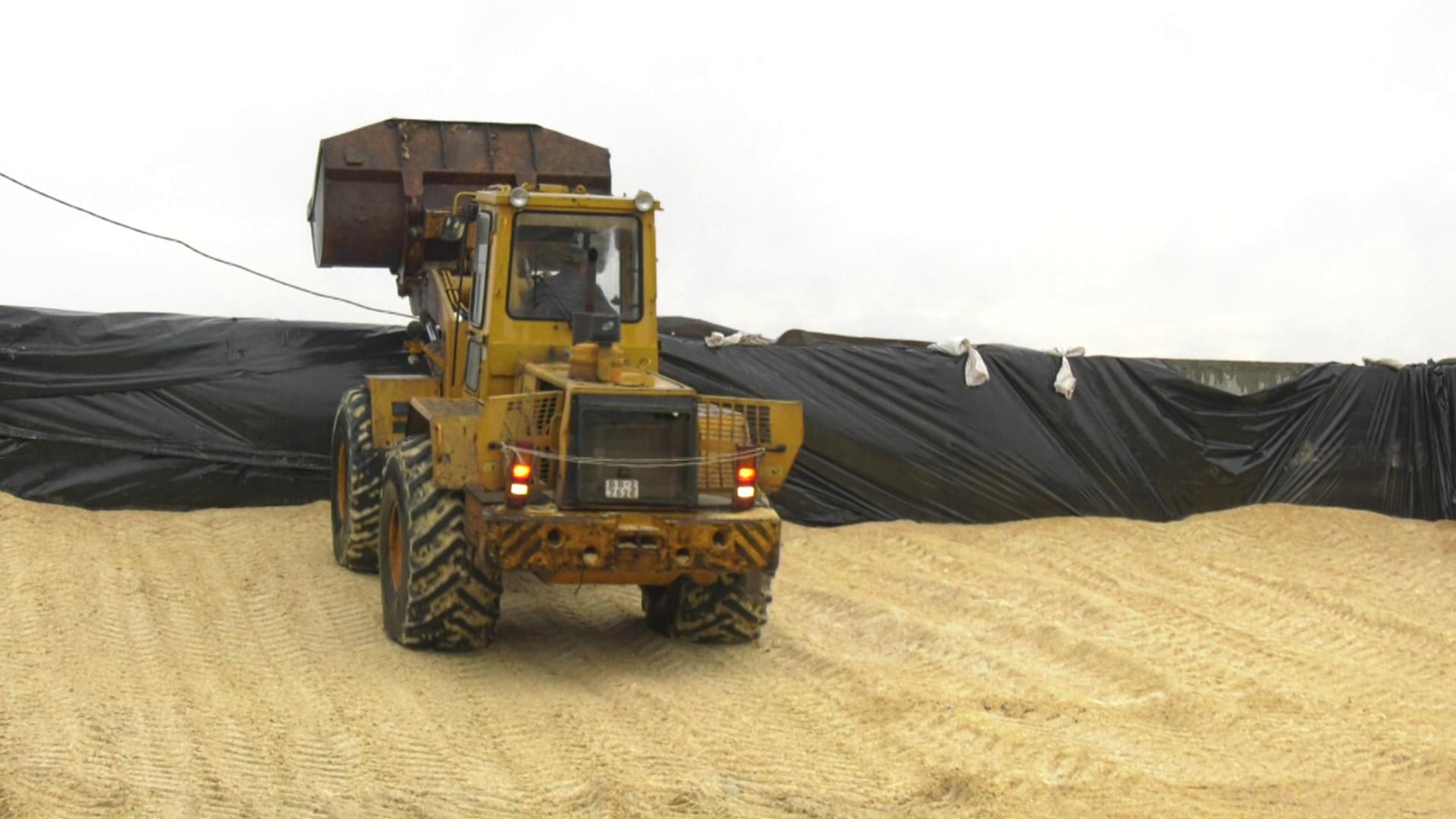 kukuruza - Богатый урожай зерна кукурузы получили в Оршанском районе (видео)
