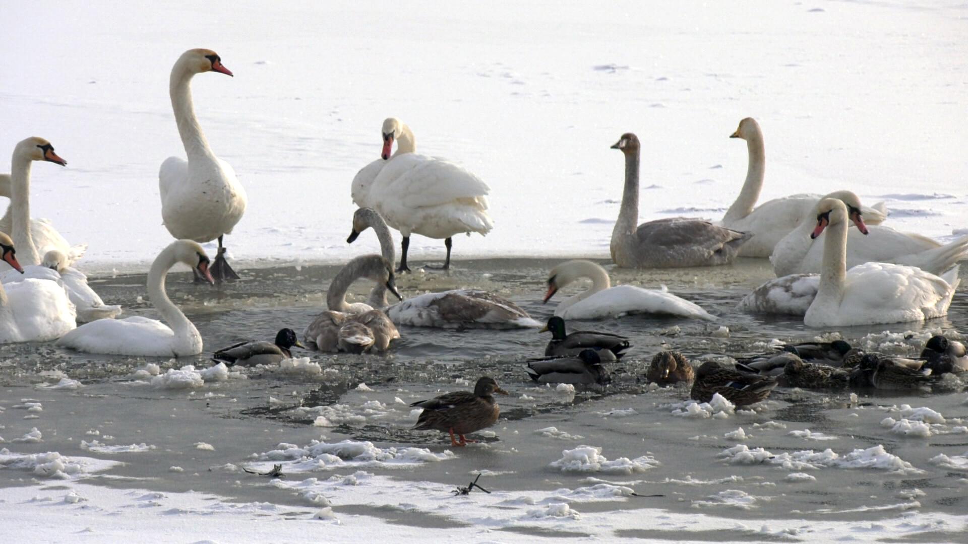 lebedi zimujut - Жители Витебска беспокоятся о зимующих в городе лебедях (видео)