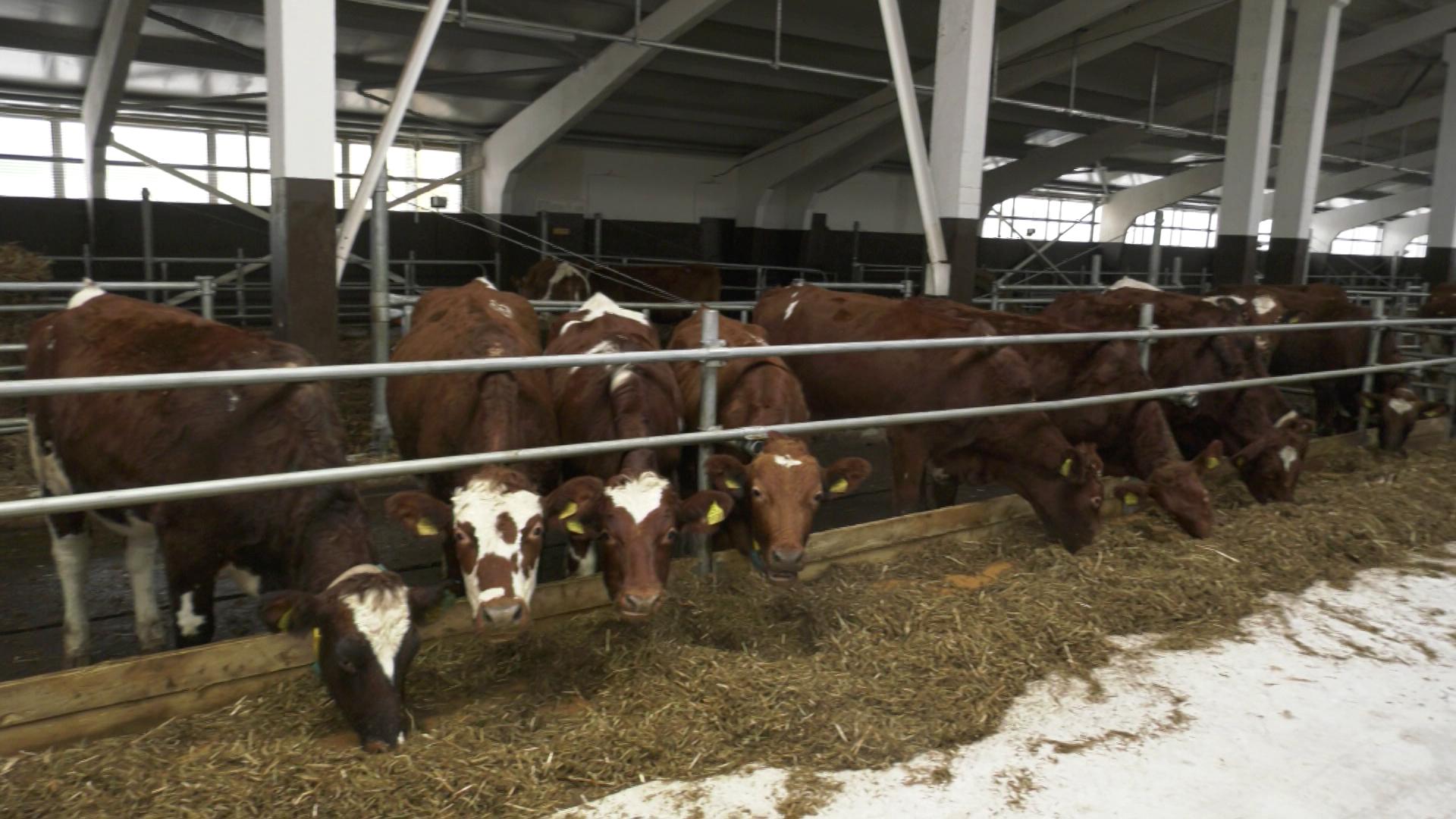 traktor - Красные датские коровы поселились на ферме в Оршанском районе (видео)