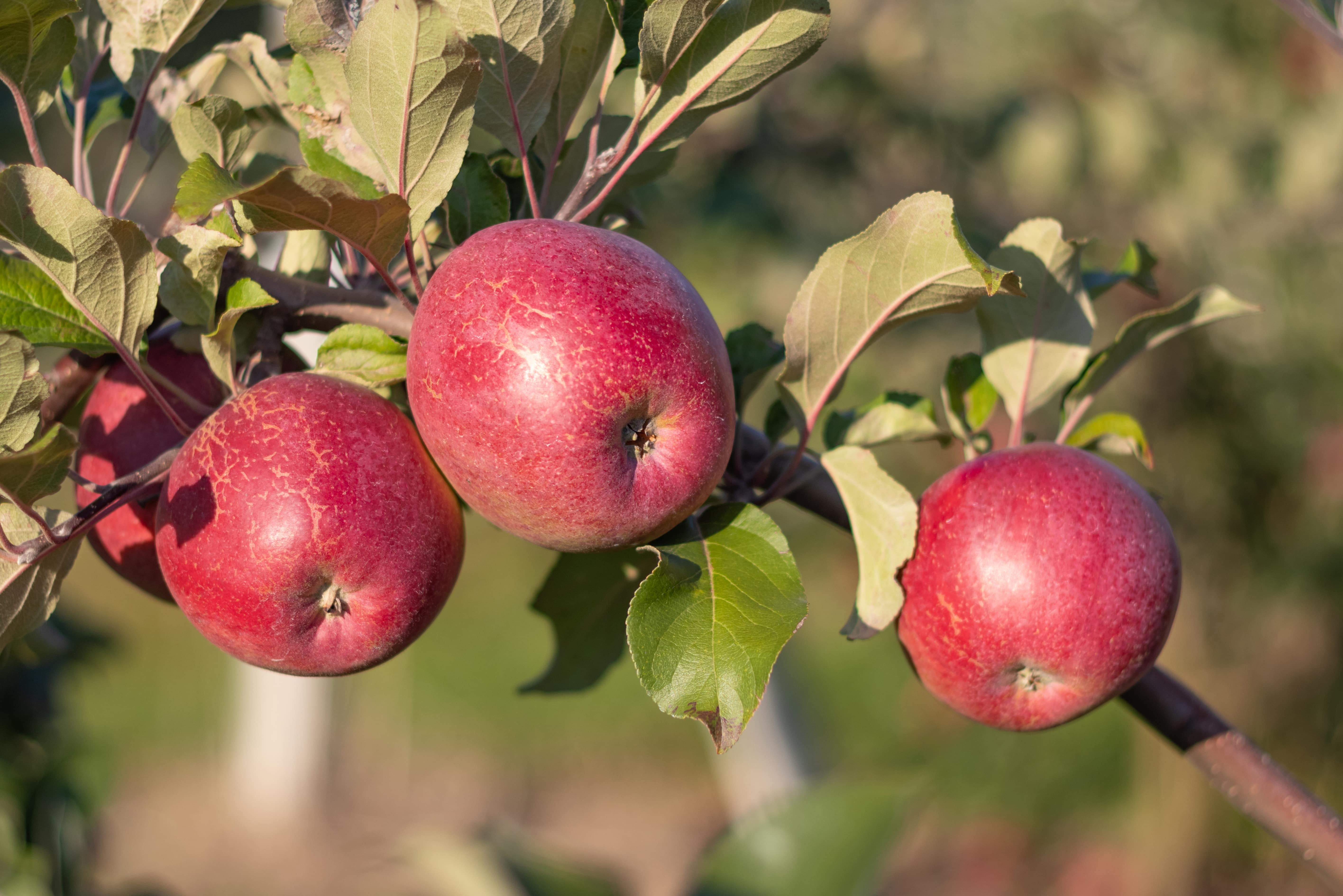 tolochin jabloki min - Сбор яблок в садах Толочинского района (видео)